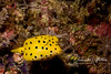 Baby boxfish (1 inch long)