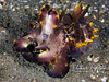 Female flambouyant cuttlefish again (just too cool for only one photo!)