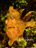 Another anglerfish (frogfish)