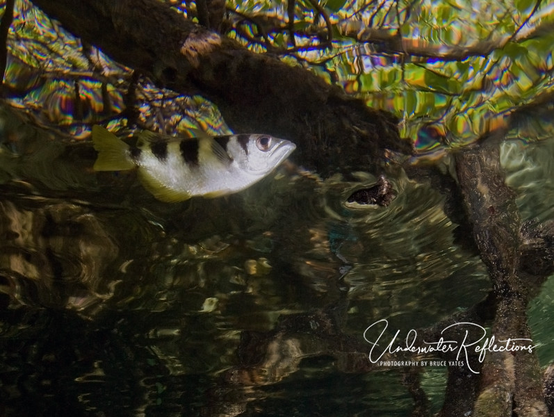 "An archer fish (4-5 inches) swims along the surface below the mangrove branches.  This fish gets its name from the fact that it ""spits"" drops of water at insects on leaves/branches above, knocking them down into the water where he can eat them."