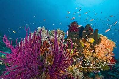 Whip corals, green sponge, orange soft coral and red and other colored crinoids, along with hundreds of anthias (1 inch long) create a beautiful reef scene