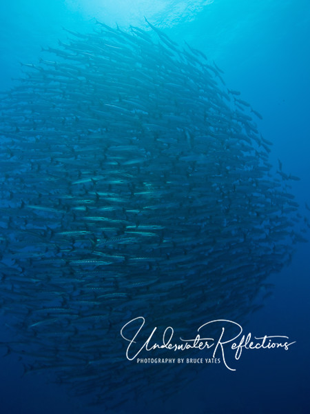At LEAST 1000 schooling barracuda