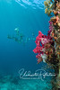 School of batfish with red soft coral in foreground