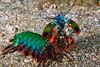 Peacock Mantis Shrimp (6 inches long)
