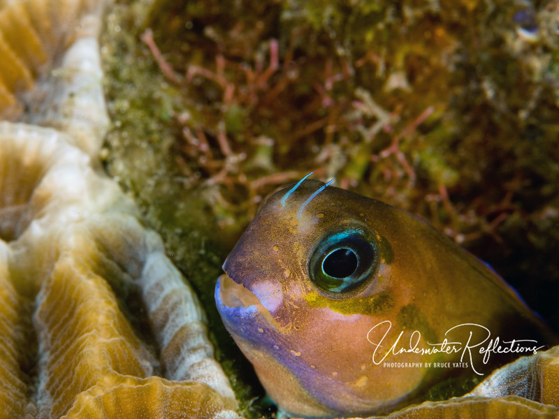 Blenny (1/4 inch diameter)