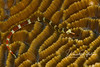 Tiny (2-3 inches long) brown pipefish crawling on coral - looks a bit like a maze!