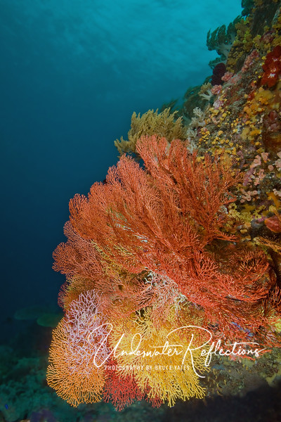 Vivid coral fans overlap one another on a wall