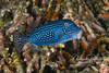 Boxfish (5 inches)