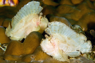 Leaf scorpionfish (4-5 inches long) sway in the current like a leaf