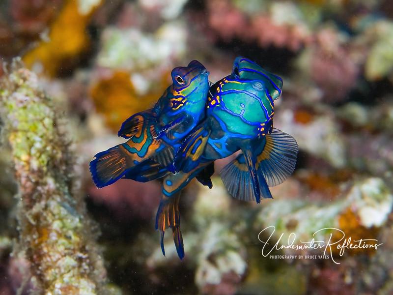 Mandarinfish pair mating at dusk