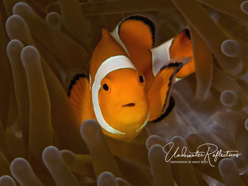 Nemo in Brown Velvet - false clown anemonefish in anemone