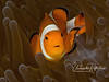 Nemo in Brown Velvet - false clown anemonefish in anemone