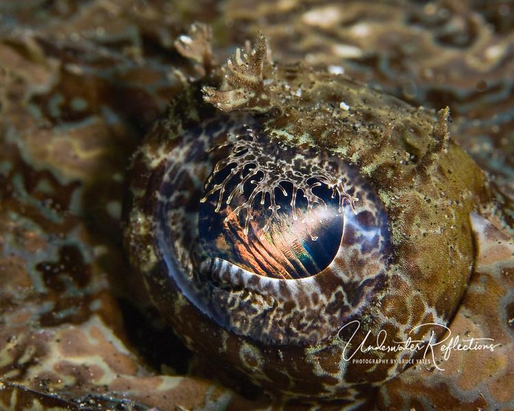 Crocadilefish eye