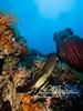 Juvenile batfish (1.5 ft high)