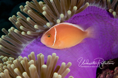 Pink anemonefish (2 inches long) swims along the upturned underside of its host anemone