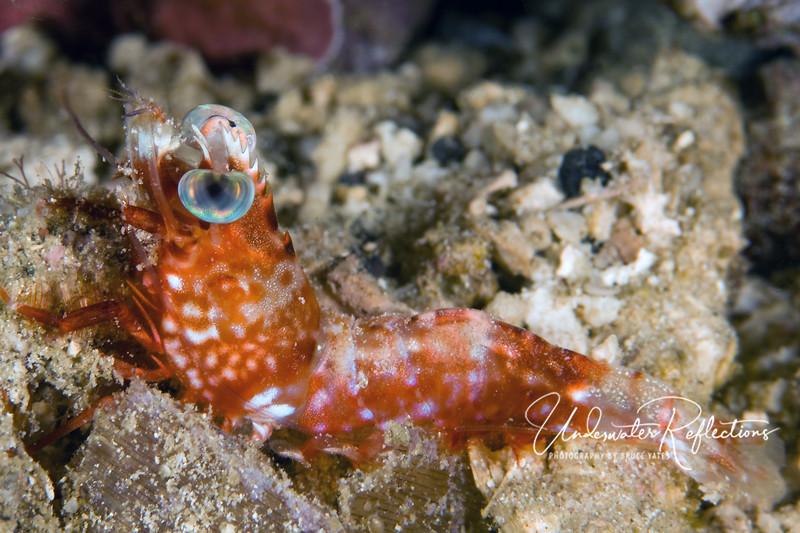 Shrimp (1/2 inch long)