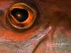 Trumpetfish eye