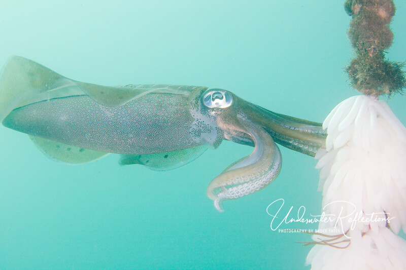 Female bigfin reef squid (1 foot long) planting her egg casings (3-4 inches long) already hanging from the mooring rope.