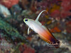 Fire dartfish (2 inches)