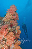 Unusual orange soft corals cover this section of reef