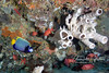 Emperor angelfish (dinner plate sized) and a group of red squirrelfish use these large white sponges for cover