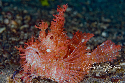 Rhinopeas scorpionfish (5-6 inches long)