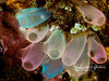 "Pastel Bells - colorful tunicates (sometimes called ""sea squirts""), only an inch long and very delicate.  Each has two holes, and they draw water in one and out the other, filtering little bits of food as it passes through."