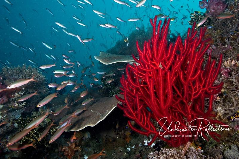 Reef scene (Indonesia)