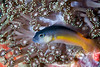 Juvenile fish in soft coral (Indonesia)