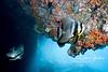 Batfish inside a cavern