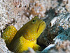 "Shrimp goby - if I were naming him, I'd call him a ""bulldog goby""!"