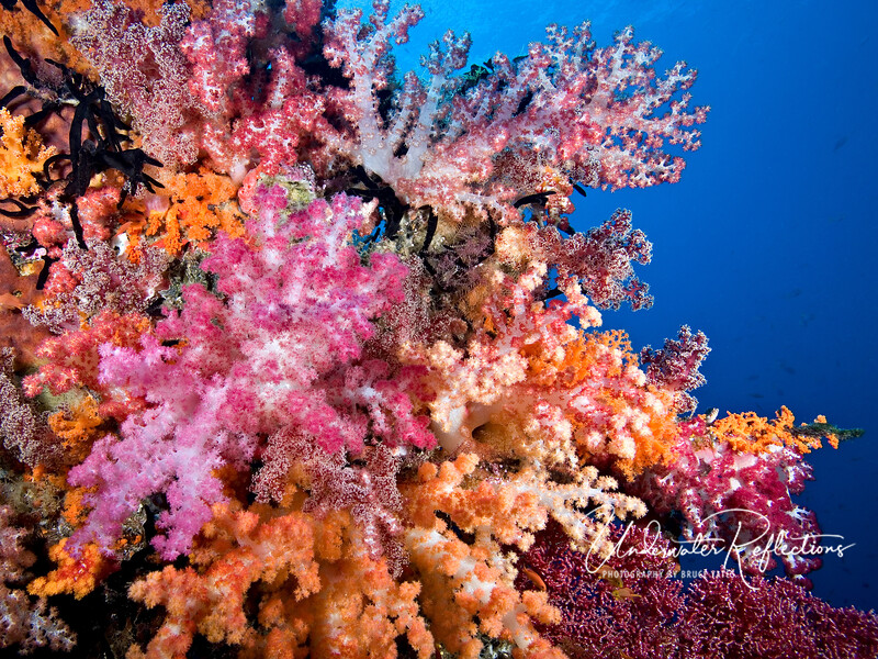 Soft corals in the Misool area of Raja Ampat