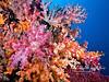 Soft corals in the Misool area of Raja Ampat