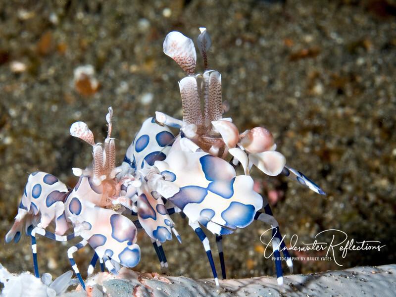 Pair of Harlequin Shrimp