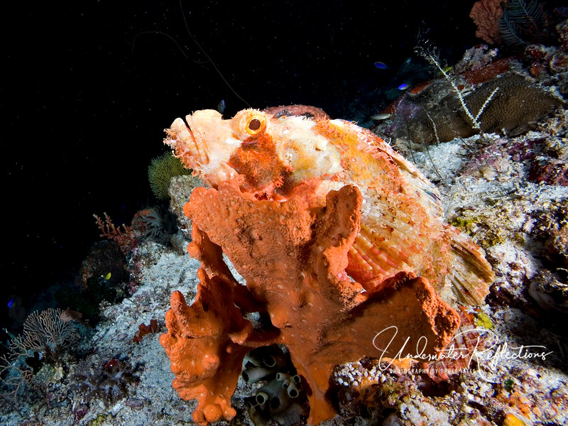 Scorpionfish can alter their coloration to match their surroundings.  In this case, this fellow is trying to blend in with an orange sponge!
