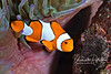 "False clownfish with eggs - he/she spent a lot of time ""blowing"" on the eggs, presumably to keep them aerated"
