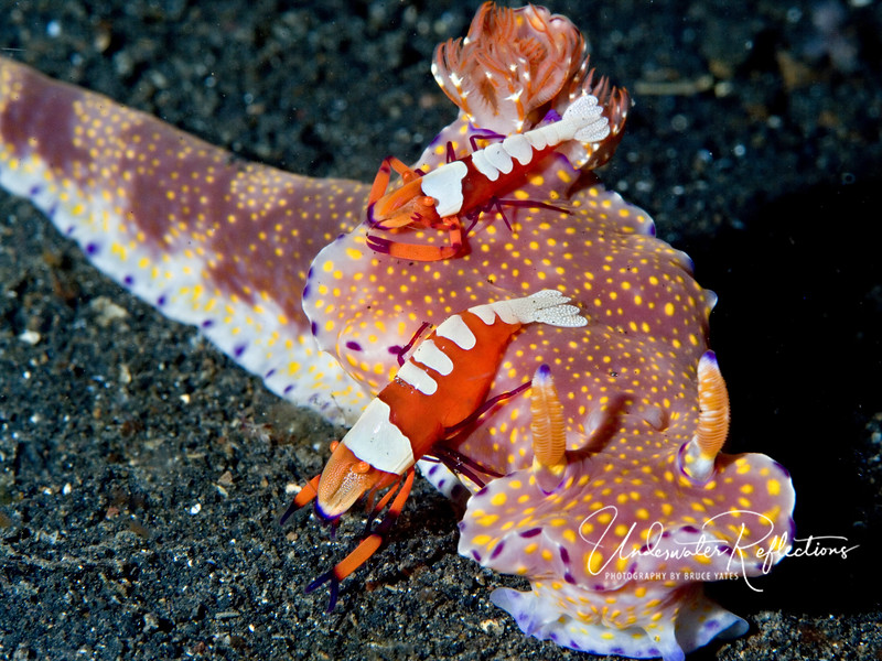 Two emperor shrimp hitching a ride on a nudibranch