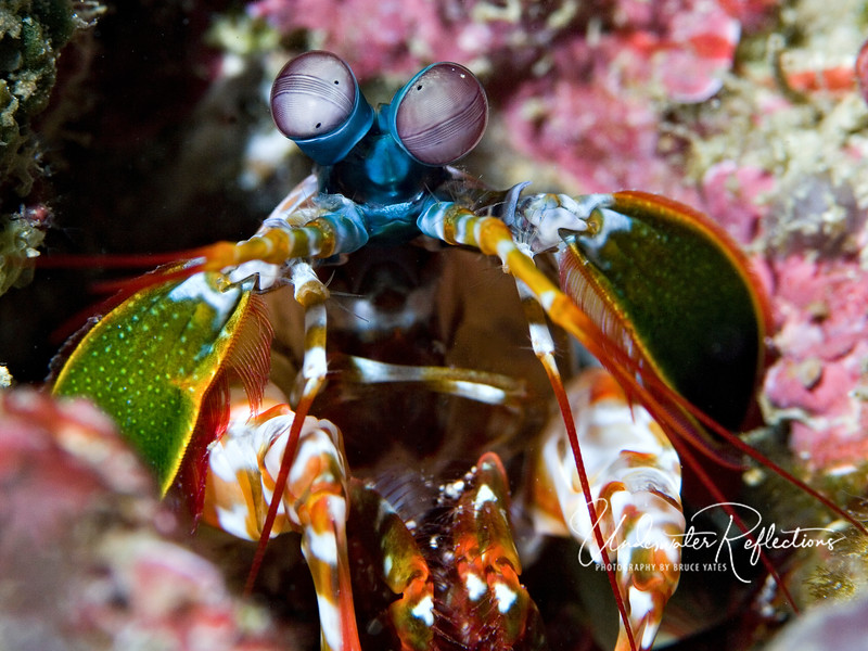 Mantis shrimp eyes are supposedly the most complex eyes in all of nature, with thousands of different receptors for light/color/shape, etc.  As can be seen here, they swivel independently and are constantly alert for danger or potential prey.
