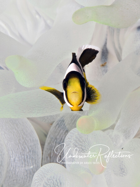 Young anemonefish in white anemone