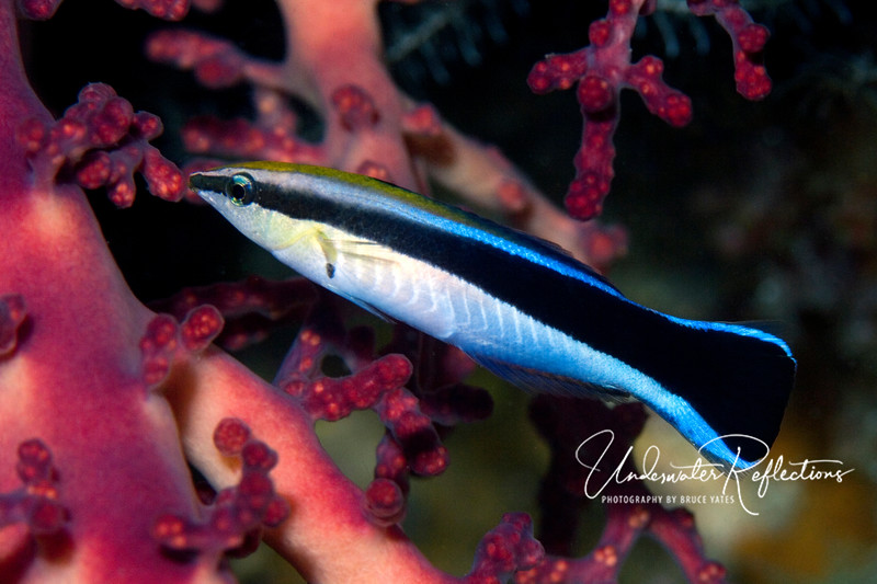 Cleaner wrasse - usually seen buzzing around bigger fish, their tube-shaped mouths are perfectly suited for the parasites they find on other fish