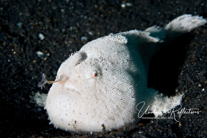 "Anglerfish (commonly called frogfish).  This fellow has his ""lure"" extended where he wiggles it in front of his face - if some little fish comes near to investigate, he will swallow it in one gulp."