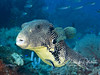 Map Puffer with cleaner wrasse