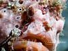 Anglerfish (frogfish)
