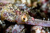 "Winged pipefish eye - I was trying out a super-macro lens combination (150mm Sigma lens with 2X teleconverter, for effective focal length of 300mm), and I literally could not get his hole head in one shot, even though his eye is only about the size of a pinhead.  See next photo for ""the rest of the story""."