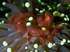 Orangutan crab in anemone - what a face!