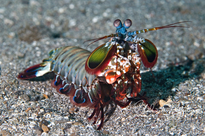 "Mantis shrimp (4-6 inches long) - uses his front claws (tucked under like a praying mantis) to lash out and stun/kill prey.  Supposedly, this snapping of his claws is one of the fastest actions in all of nature, earning this fellow the nickname ""thumb-cracker"" because it is capable of shattering the bones in a human hand"
