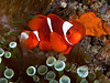 "Spinecheek (or ""maroon"") anemonefish - this is my favorite type of anemonefish, and these were the most brilliantly colored (more orange than maroon) ones I've ever seen!"