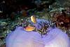 Pink Anemonefish 7