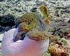 Pink Anemonefish 2