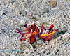 Flamboyant Cuttlefish 1
